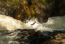 Leaping Sea Trout  DM2112