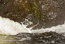 Leaping Sea Trout  DM2126