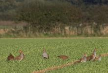 Covey Grey Partridges 0473