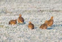 Covey of Grey Partridges in the Frost DM1557