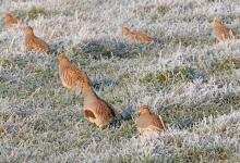 Covey of Grey Partridges in the Frost DM1560