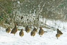 Covey of Grey Partridges in the Snow DM1558