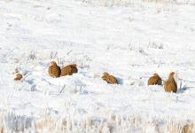 Covey of Grey Partridges in the Snow DM1575