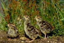 English Partridge Cicks DM0535