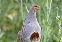 Grey Partridge DM01092