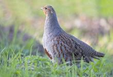 Grey Partridge DM0193