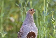 Grey Partridge DM0189