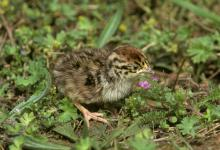 Grey Partridge Chick DM0563