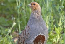 Grey Partridge DM0196
