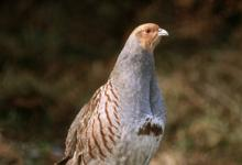 Grey Partridge DM03541