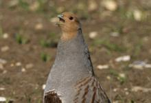 Grey Partridge DM0467