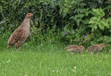 Grey Partridge and Young  DM1609
