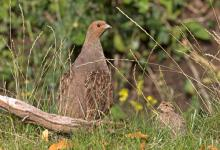 Grey Partridge and Young  DM1610
