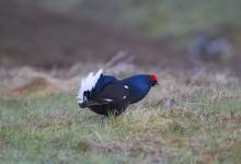 Black Grouse DM0995