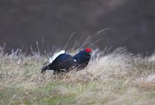 Black Grouse DM0997