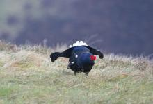 Black Grouse DM1000