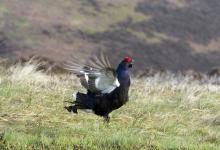 Black Grouse DM1004