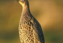 Hen Pheasant on a Post DM1476