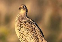 Hen Pheasant on a Post DM1477