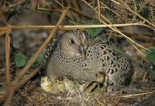 Hen Pheasant with Chicks DM0197
