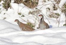 Pair Red-legged Partridges in the Snow 1
