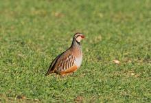 Red-leg Partridge  DM1621