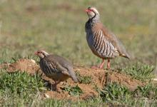 Red-leg Partridge  DM1632