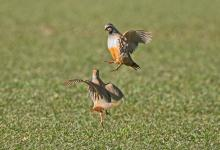 Red-leg Partridges Fighting   DM1633