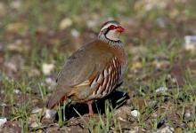 Red-legged Partridge 2