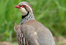Red-legged Partridge DM1622