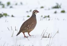 Red-legged Partridge DN1417