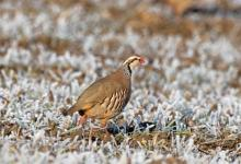 Red-legged Partridge in  the Frost