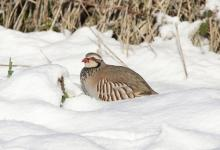Red-legged Partridge in the Snow 1