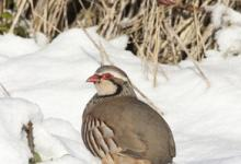 Red-legged Partridge in the Snow DM0568