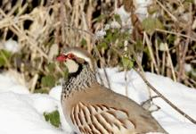 Red-legged Partridge in the Snow 3