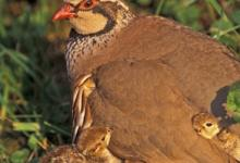 Redleg Partridge with Chicks DM0571