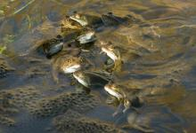 Frogs Spawning  2 DMOO38