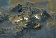 Frogs Spawning 3 DMOO39