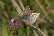 Brown Argus DM0085
