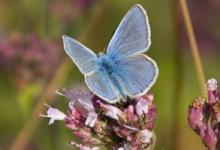 Common Blue 2 DM0073