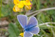 Common Blue 3 DM0079