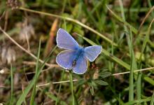 Common Blue DM0087