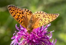 Dark Green Fritillary DM1225