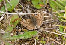 Dingy Skipper DM0088