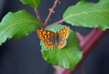 Duke of Burgundy DM1242