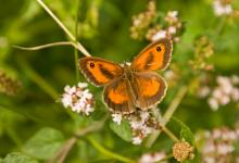 Gatekeeper - Hedge Brown 1 DM0068