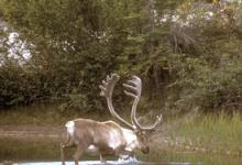 Bull Caribou in a Lake DM0100