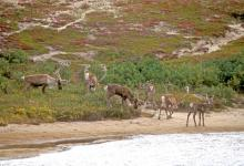Canadian Barren Ground Caribou  DM0102