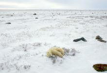 Polar Bear Sleeping DM0103