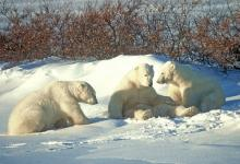 Polar Bears DM0105